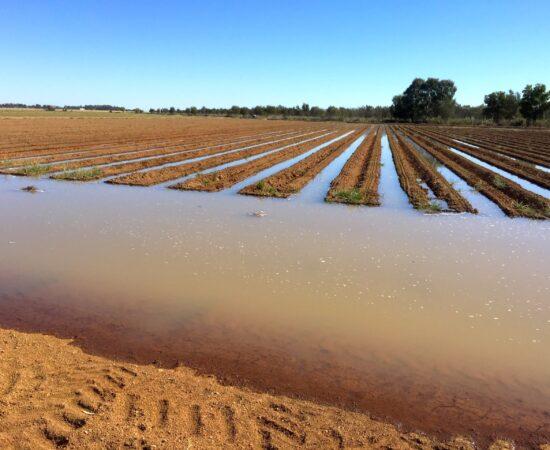 Cotton_Irrigation_01